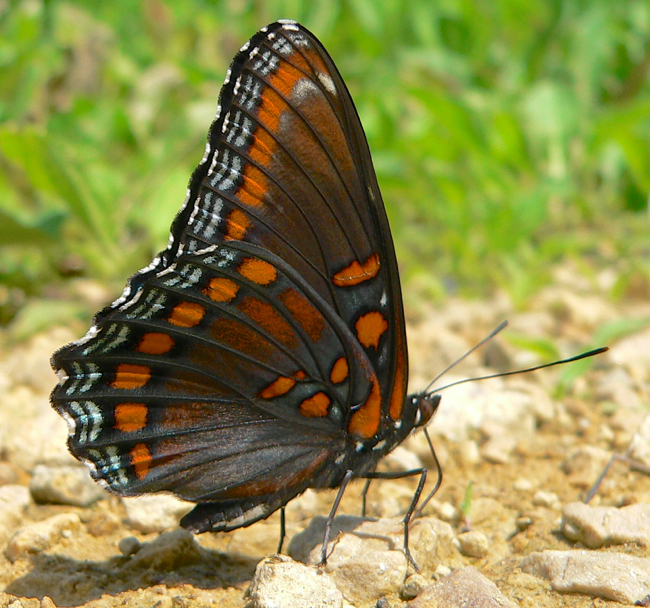 red spotted purple 6-12-05 1