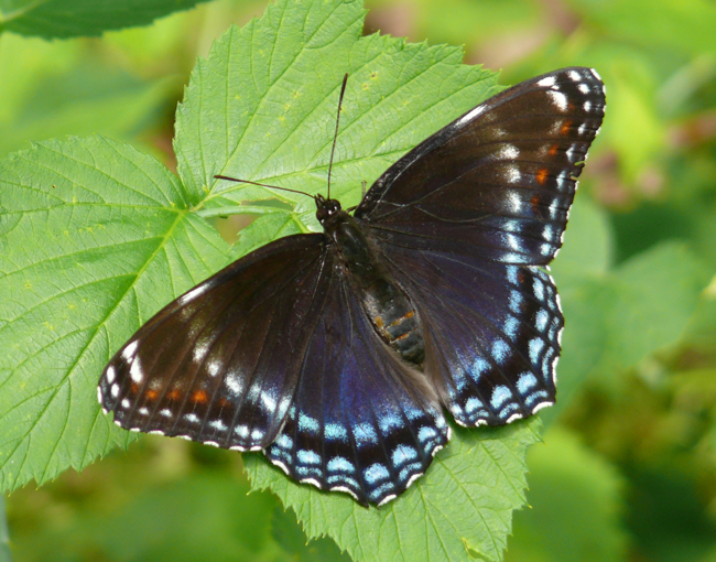 red spotted purple 6-28-09 1