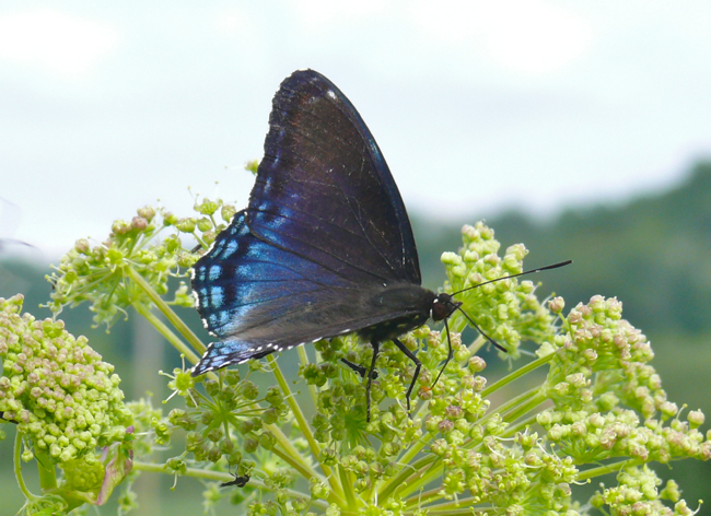 red spotted purple 6-3-10 3