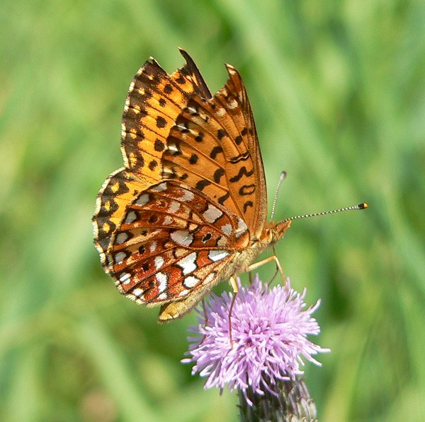 silver bordered fritillary small