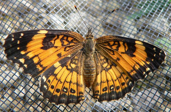 silvery checkerspot hatched