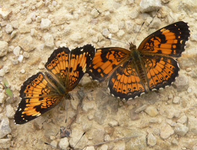 silvery checkerspots 6-20-05 1