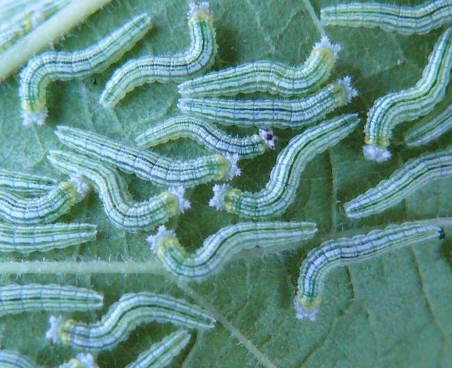 tawny emperor caterpillars 8-8-09 1