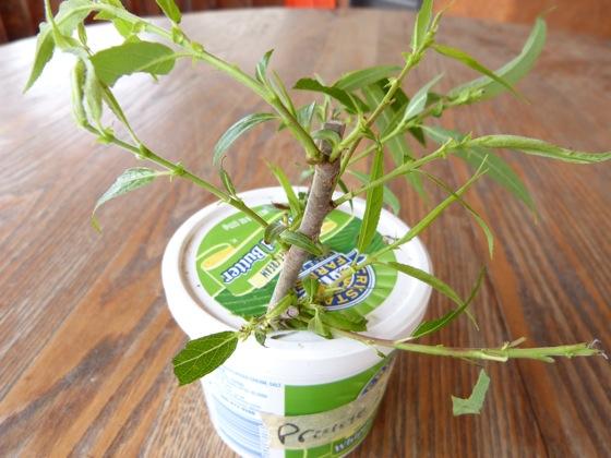 5-3-12 feeding damage on willow