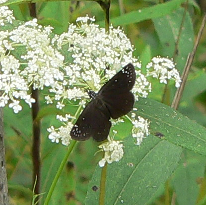 Common Sootywing 8-6-06 8