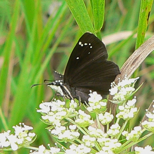 Common Sootywing 8-6-06 9