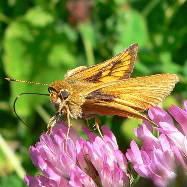 Delaware skipper female 7-8-06 9