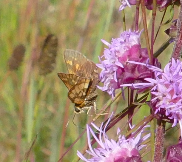 Pecks skipper 9-7-14