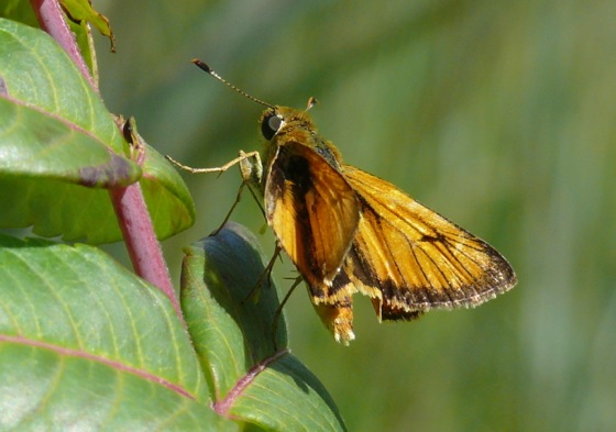 delaware skipper male 7-12-09 1