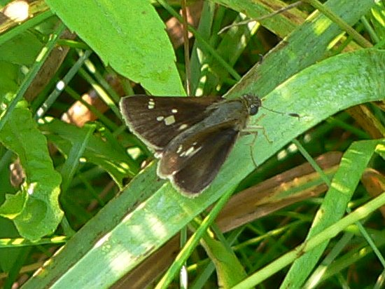 little glassywing 7-15-05