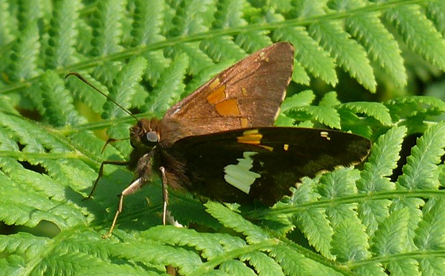 silver spotted skipper 2 6-7-08