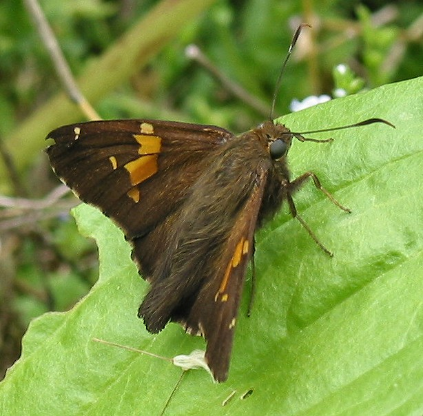 silver spotted skipper 3
