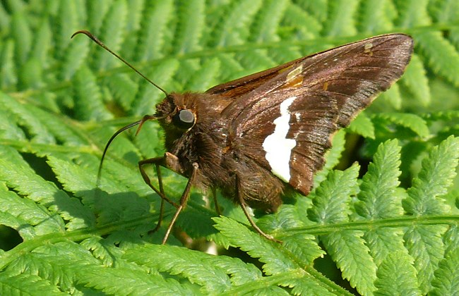 silver spotted skipper 6-7-08