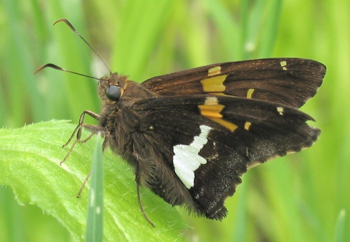 silver spotted skipper2 5-31-04