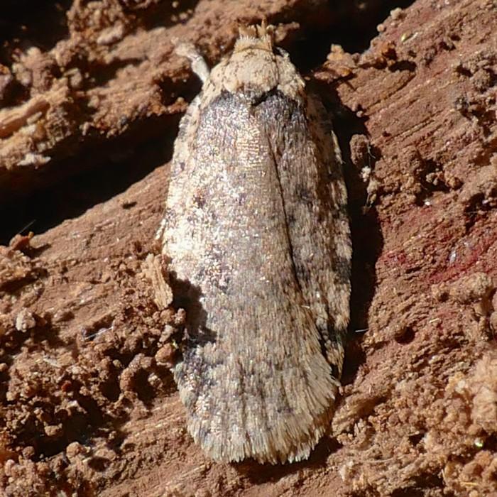 Agonopterix paulae 2-26-15 1