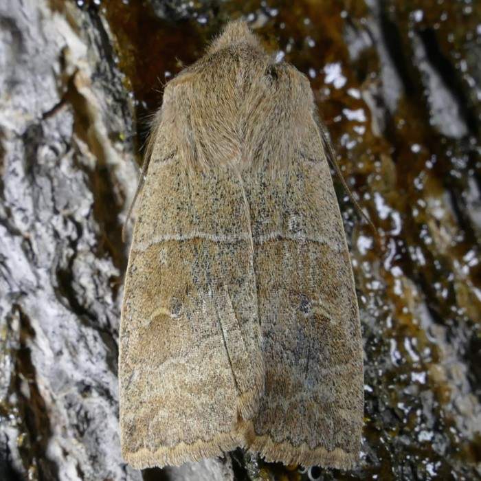 Eupsilia morrisoni 3-9-15 1