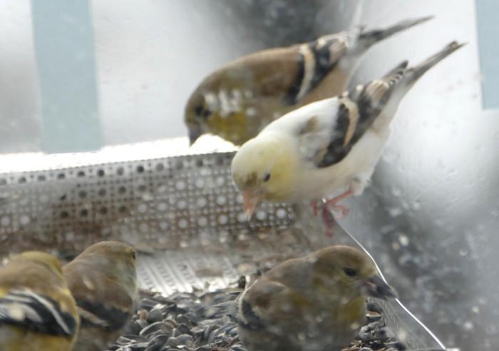 leucistic goldfinch 2-8-15 1