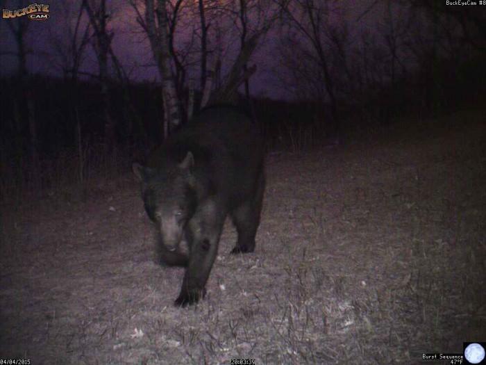 4-4-15 1 bear