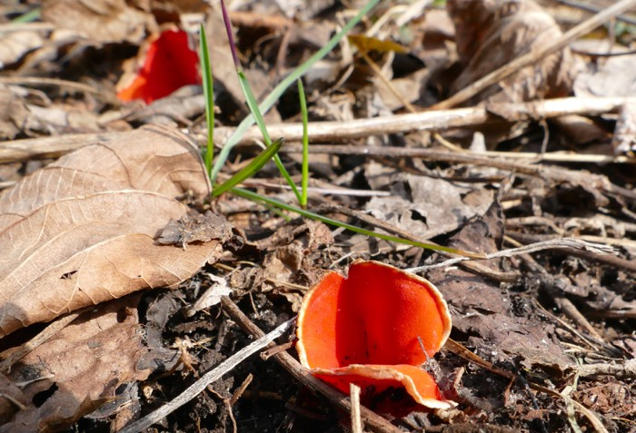 scarlet cup fungus
