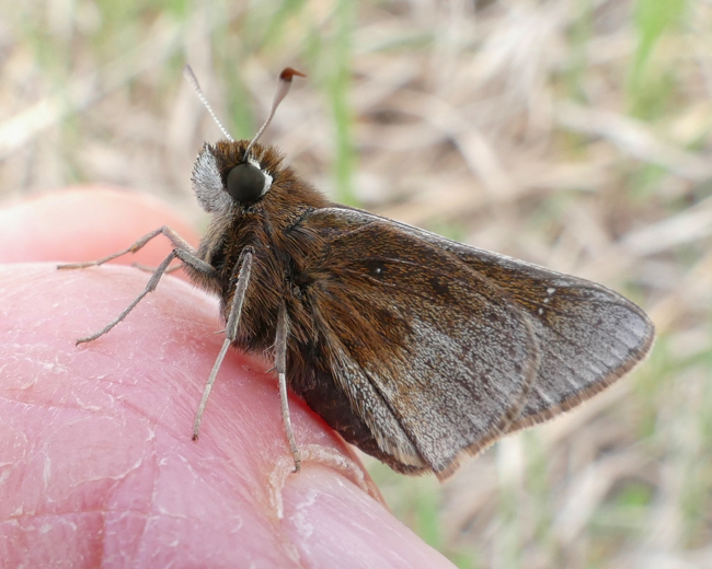 Dusted Skipper 5-19-15 2