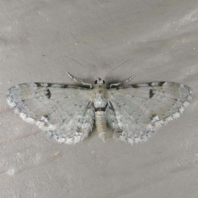 Eupithecia absinthiata 5-21-15 1