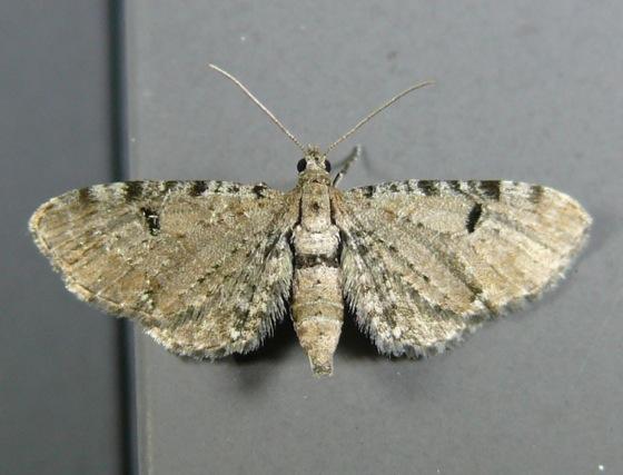 Eupithecia absinthiata T 8-11-11 1