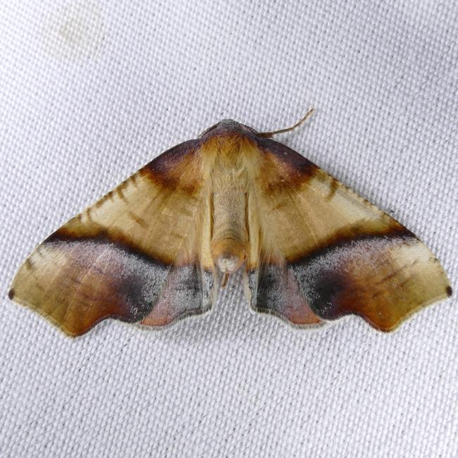 Plagodis phlogosaria 4-29-15 1