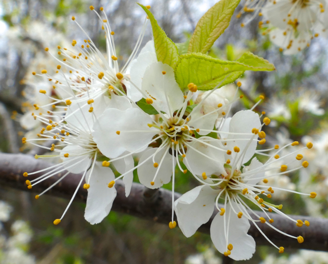 Prunus americana 5-1-15