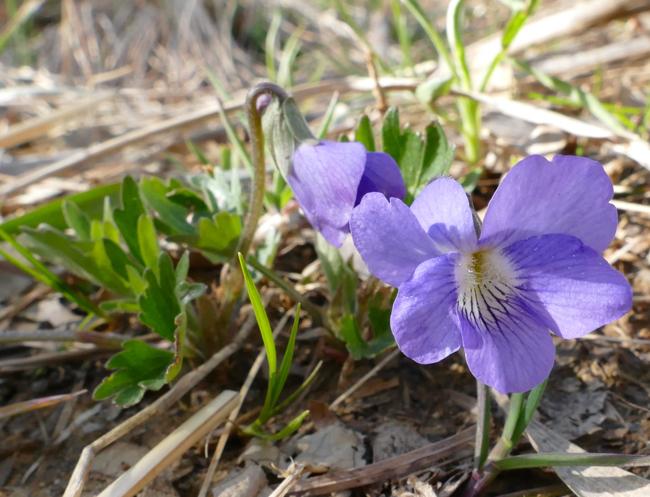 Viola x palmata