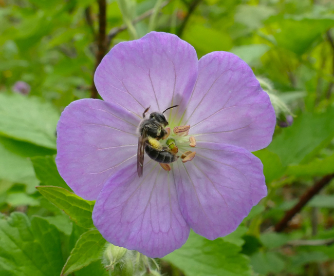bee on wild geranium