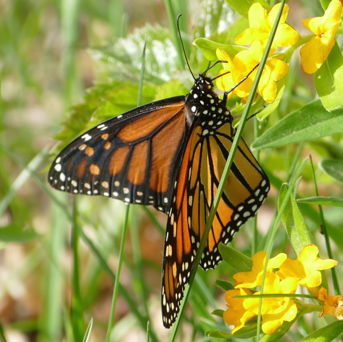 first Monarch 5-22-15