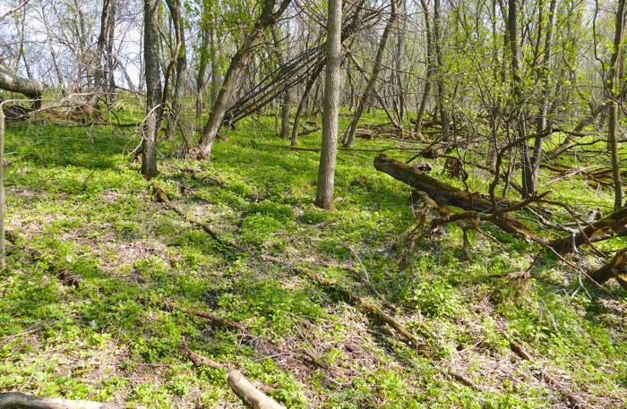 woods without garlic mustard
