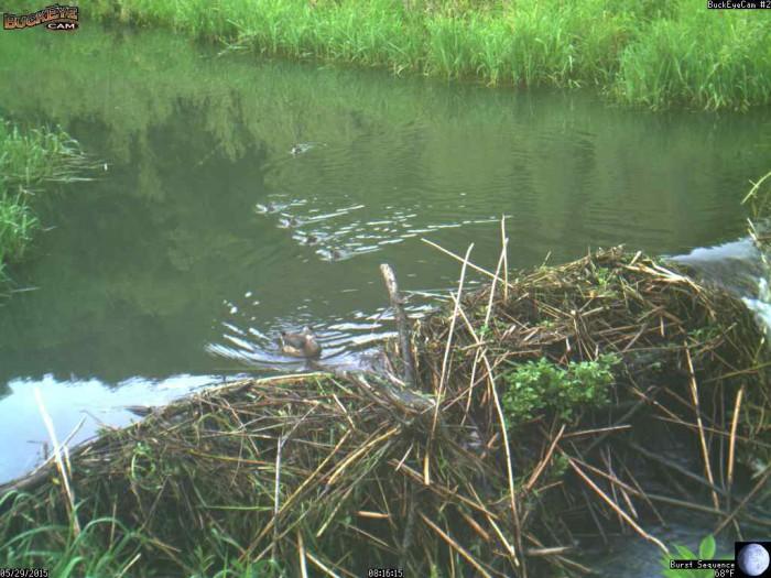 5-29-15 2 wood ducks
