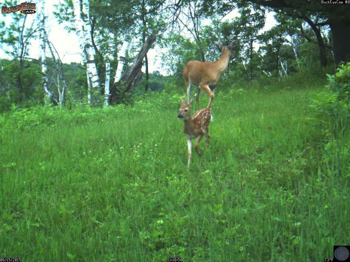 6-15-15 doe and fawn 1