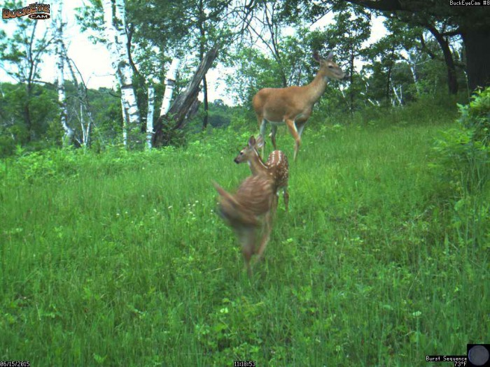 6-15-15 doe and fawns 2