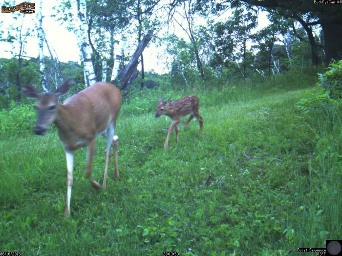 6-16-15 doe and fawn 4
