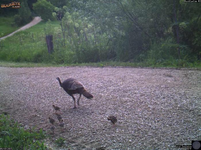 6-18-15 turkeys