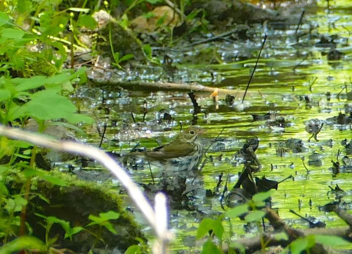 Cabin Creek Ovenbird