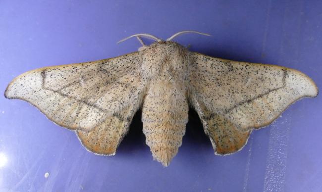 Cicinnus melsheimeri 6-16-15 1