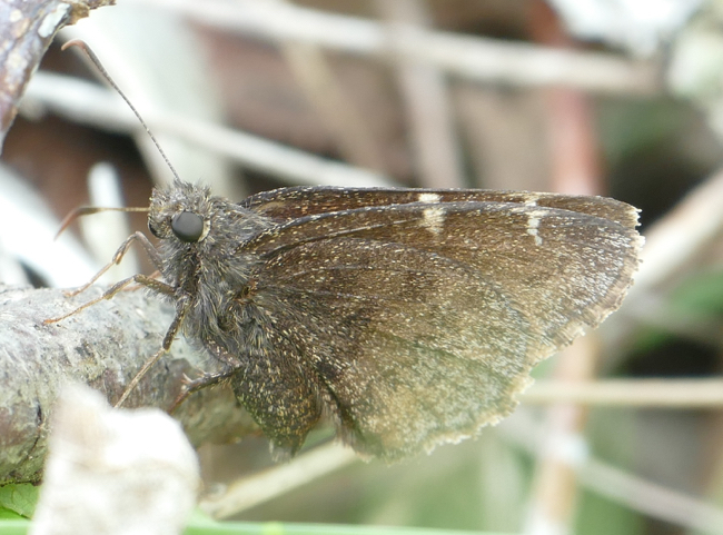 Northern Cloudywing 5-28-15 1