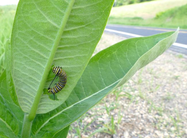 monarch caterpillar - 7-19-15 1