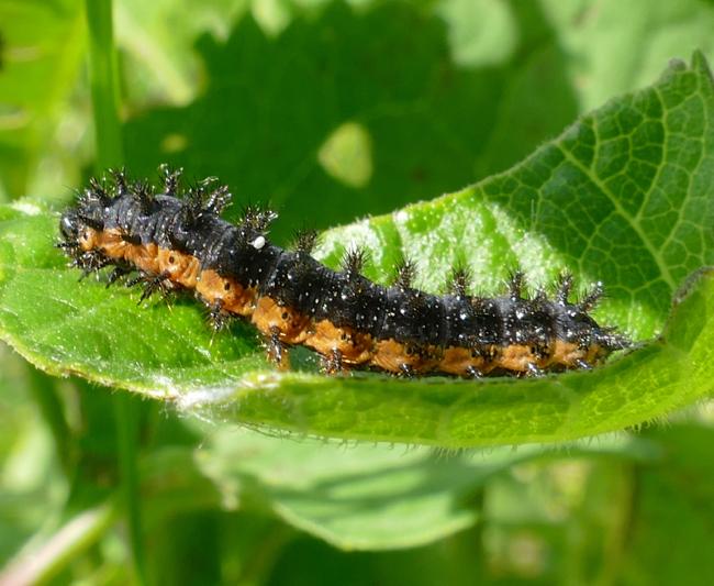 silvery checkerspot caterpillar 6-7-15 1