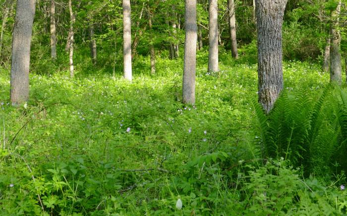 woods with geranium