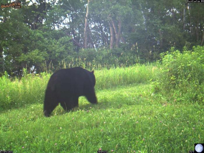 7-4-15 bear
