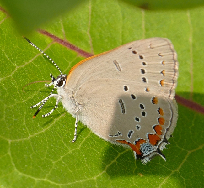 Acadian Hairstreak 7-9-15