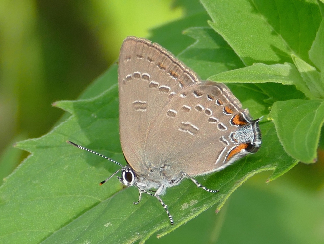 Edwards Hairstreak 6-24-15 1