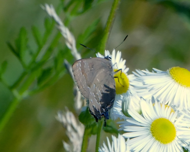 Hickory Hairstreak 7-9-15