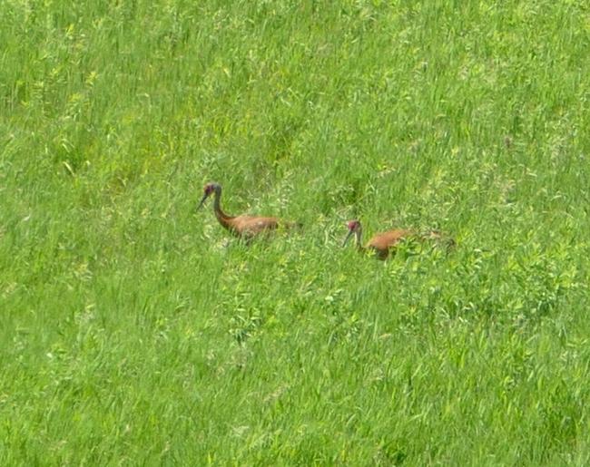Sandhill Cranes 6-22-15