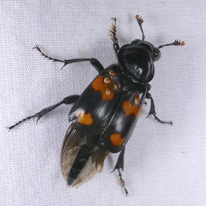 Sexton Beetle Nicrophorus orbicollis 2