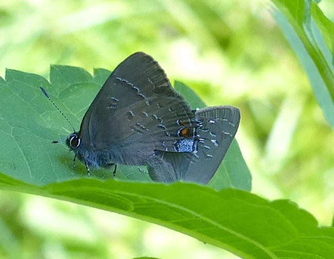 mated Banded Hairstreaks